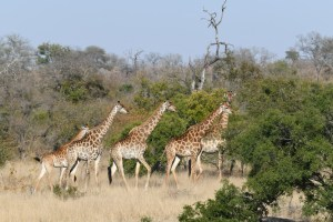 Kruger National Park, South African Safari, South African Honeymoon, The Big 5, Luxury Travel Planner