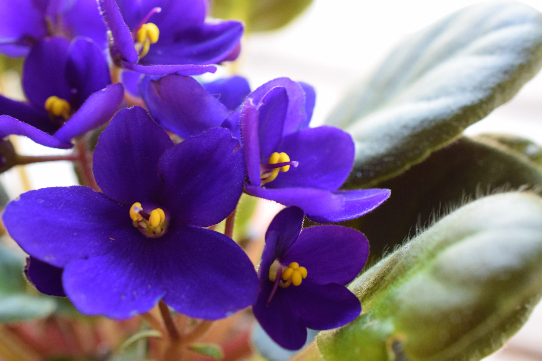 Flower Spotlight Violet