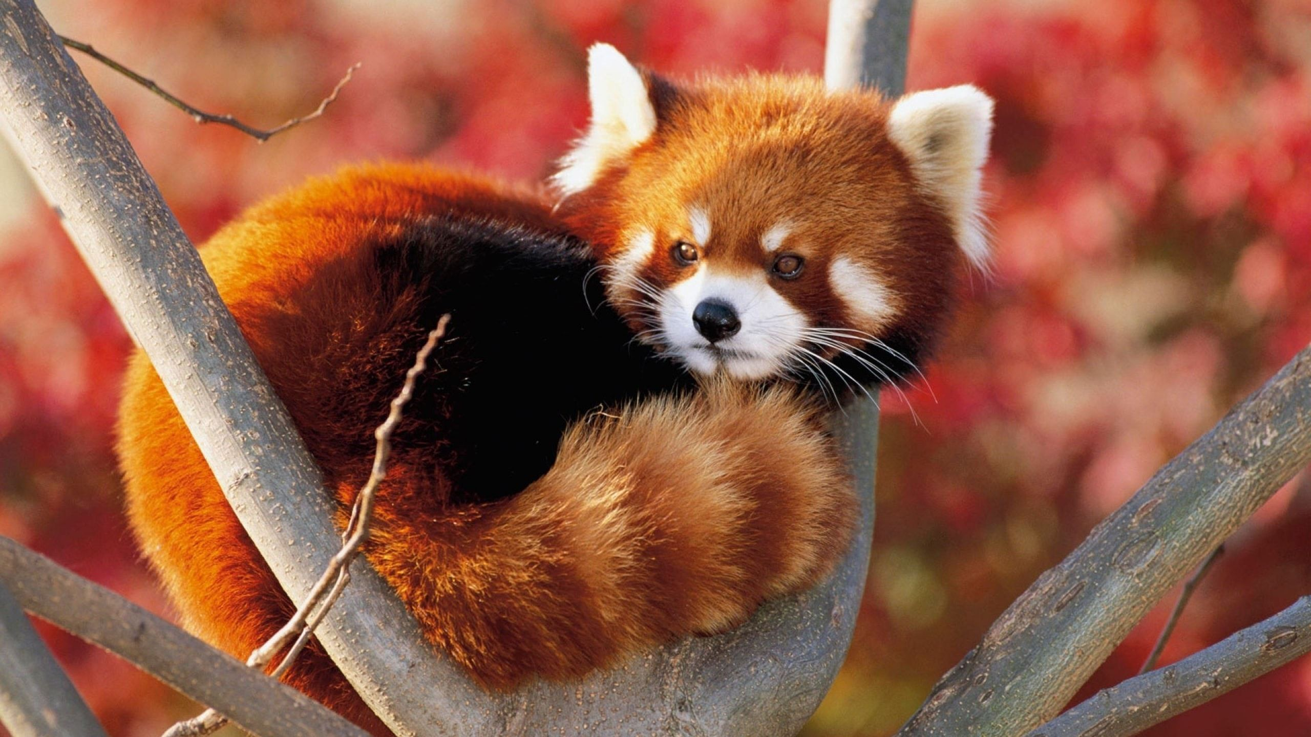 Red Panda Preview Picture