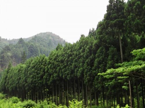 kitayamasugi2
