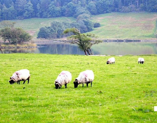 【アイルランド】北西部の自然美とそこにたたずむ羊に癒されに行く
