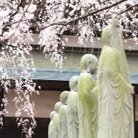 【茨城】桜の時期に水戸で一番訪れたいしだれ桜の名所 六地蔵寺