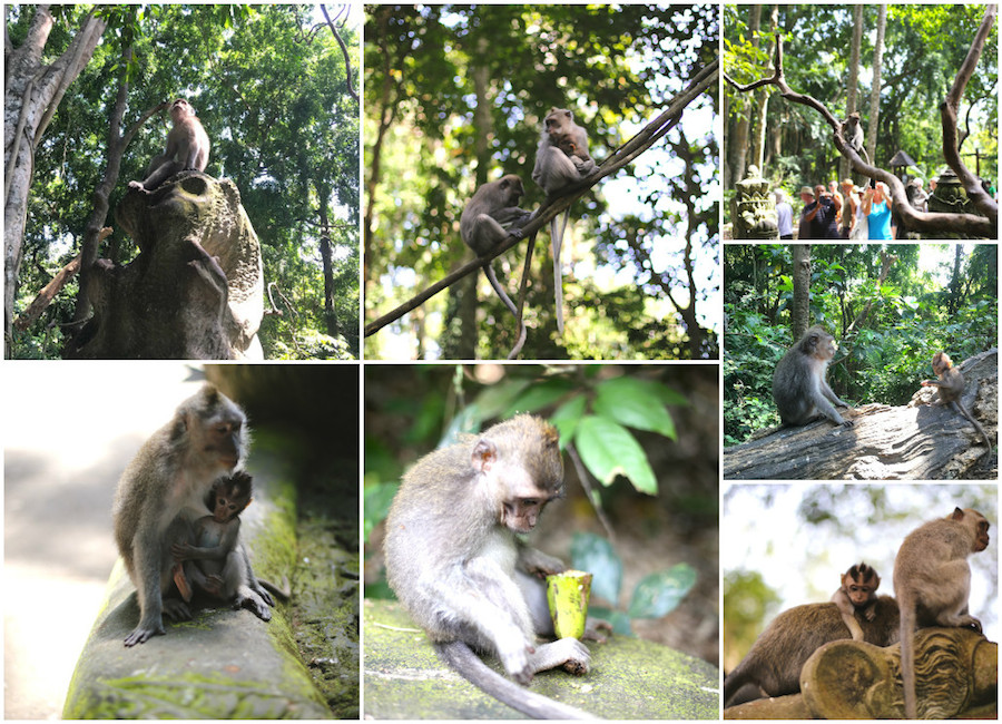 monkeyforest monkeys