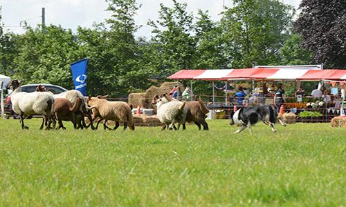 demonstraties schapendrijven