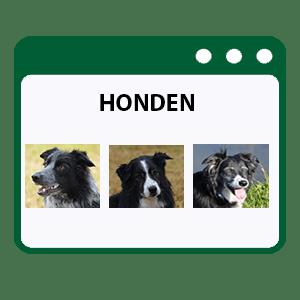 honden border collie
