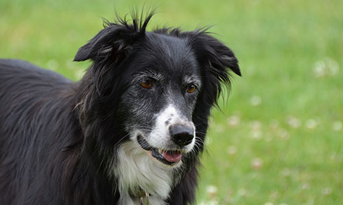 border collie joelle
