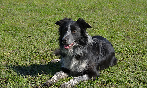 border collie lizzy