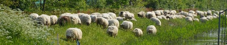 schapen begrazing