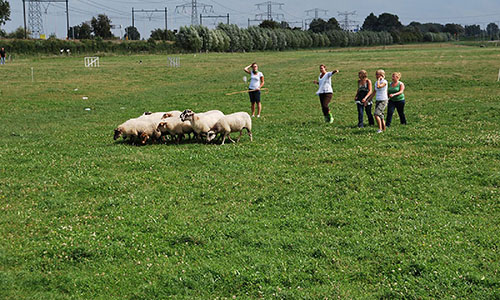 teambuilding-schapendrijven-bordercollie