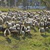 schapen-begrazing