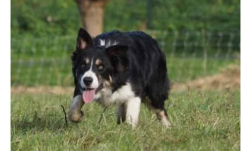 mate-bordercollie