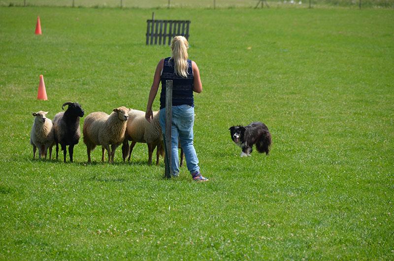 schapendrijven-joelle