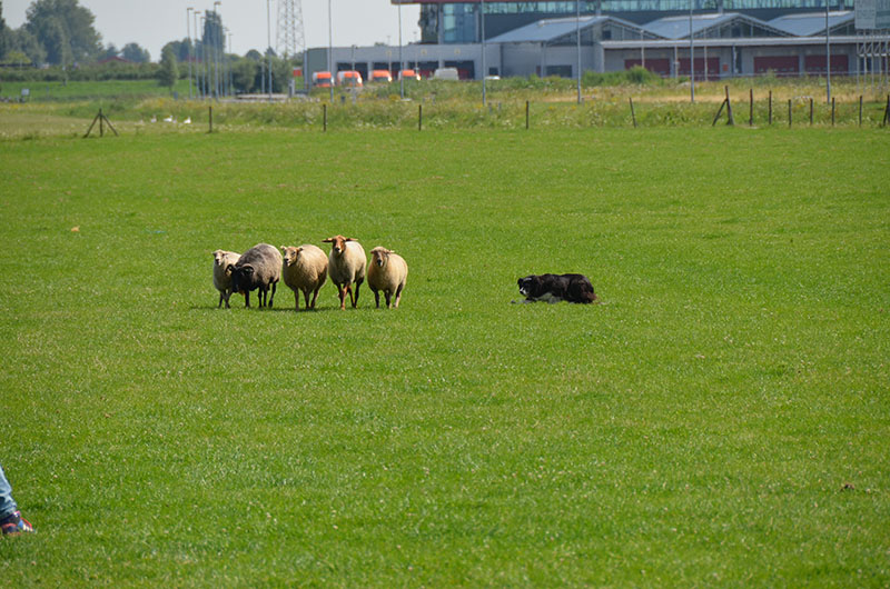 schapendrijvenjoelle