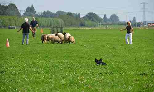 trainingen schapendrijven