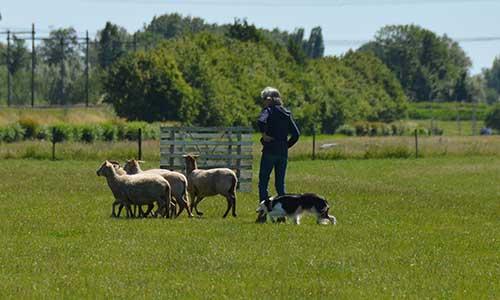 trainingen schapendrijven jonge hond