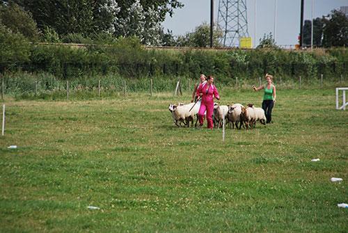 teambuilding-schapendrijven-bordercollie-