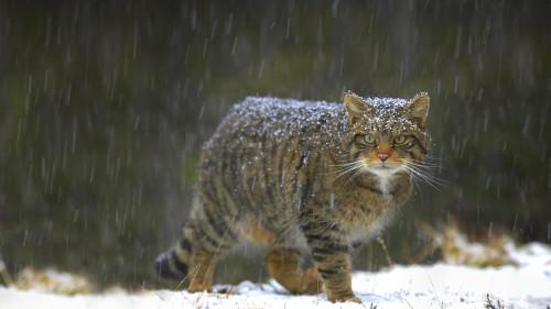 ScottishWildcat_ROW13275714246_1920x1080