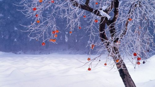 diospyros-kaki-winter-hd-bing-desktop-wallpaper