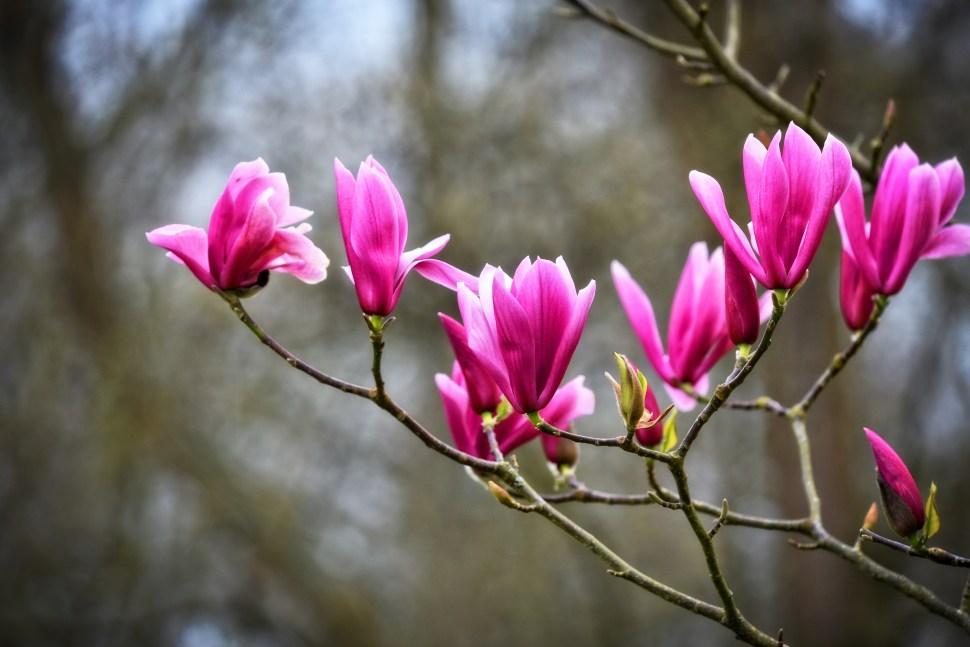 magnolia-3317190