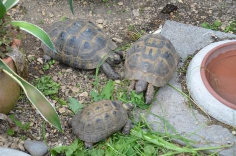 Zuchtgruppe Maurische Landschildkröten