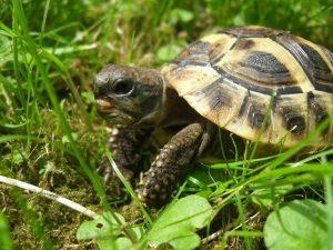 Baby Griechische Landschildkröte streckt Zunge raus