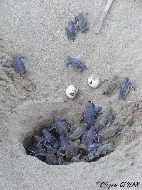 frisch geschlüpfte Suppenschildkröte