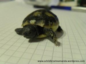 Babyschildkröte Nachzucht 2013 Griechische Landschildkröte Testudo Hermanni boettgerie