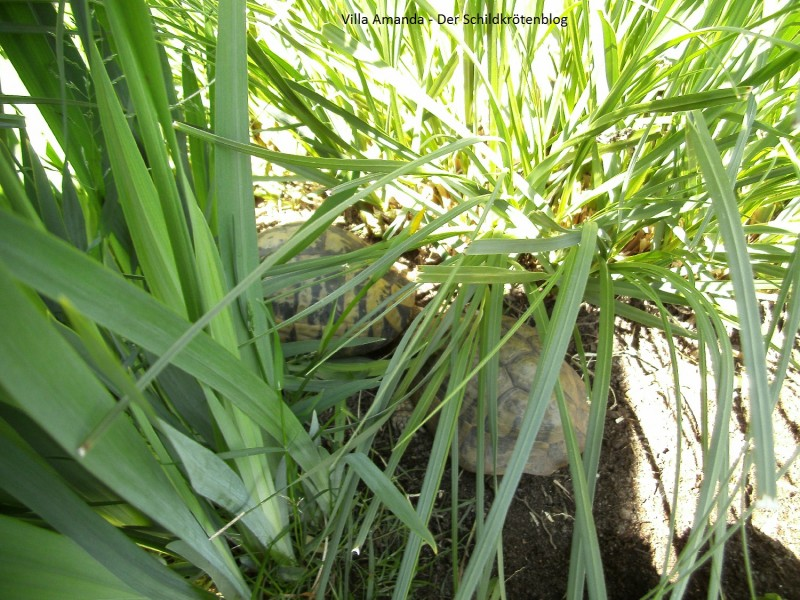 Adulte griechische Landschildkröte Testudo hermanni Boettgeri. Villa Amanda - Der Schildkrötenblog