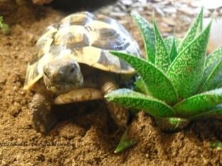 Griechische Landschildkröte Testudo hermanni boettgeri. Villa Amanda - Der Schildkrötenblog