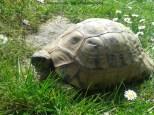 Griechische Landschildkröte Testudo hermanni boettgeri