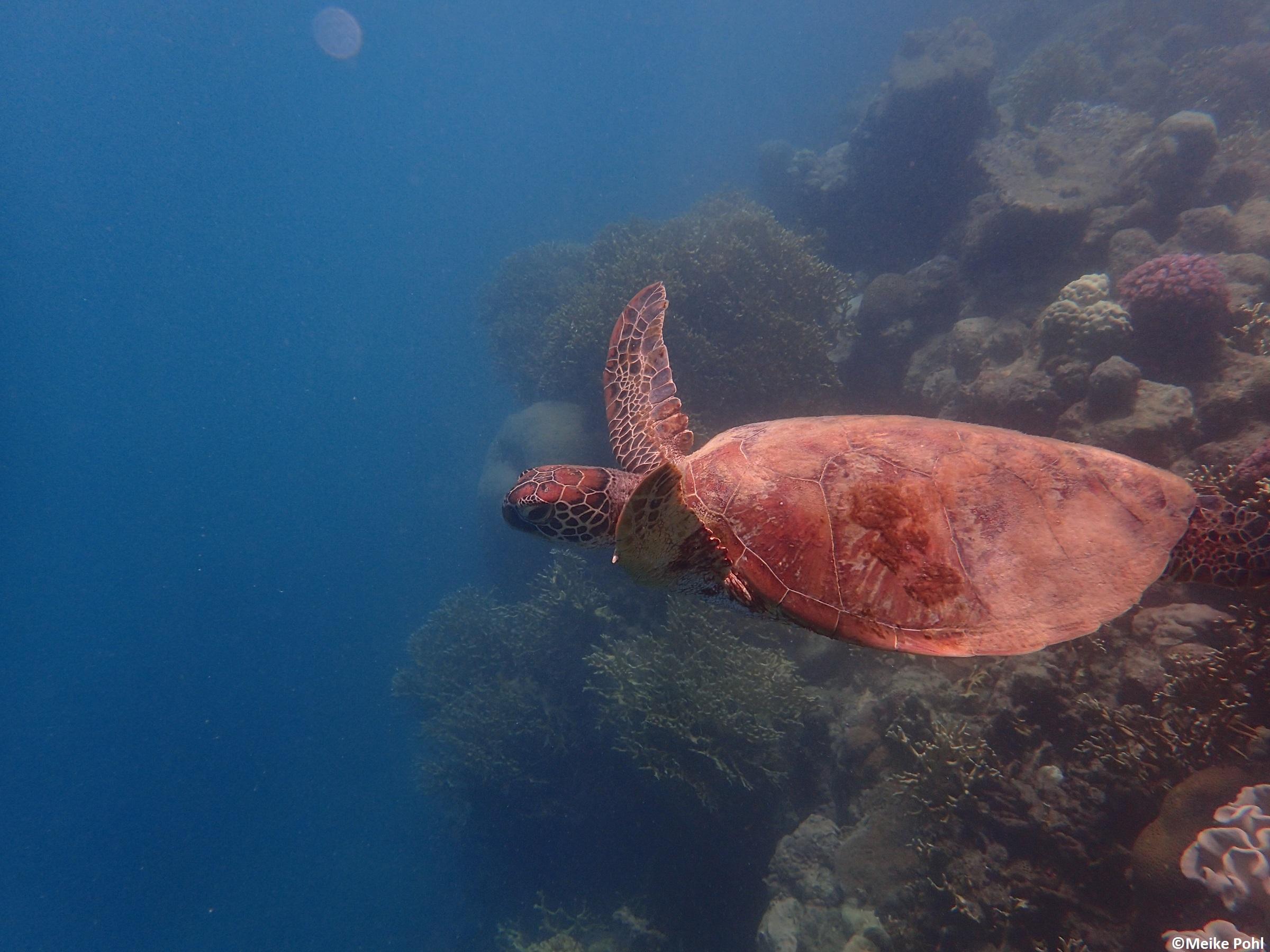 Eine Schildkröte zum Valentinstag