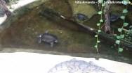 Papua-Weichschildkröten Carettochelys insculpta