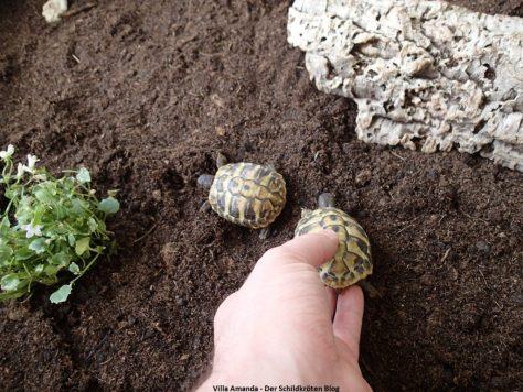 Schildkröten kommen ins neue Gehege