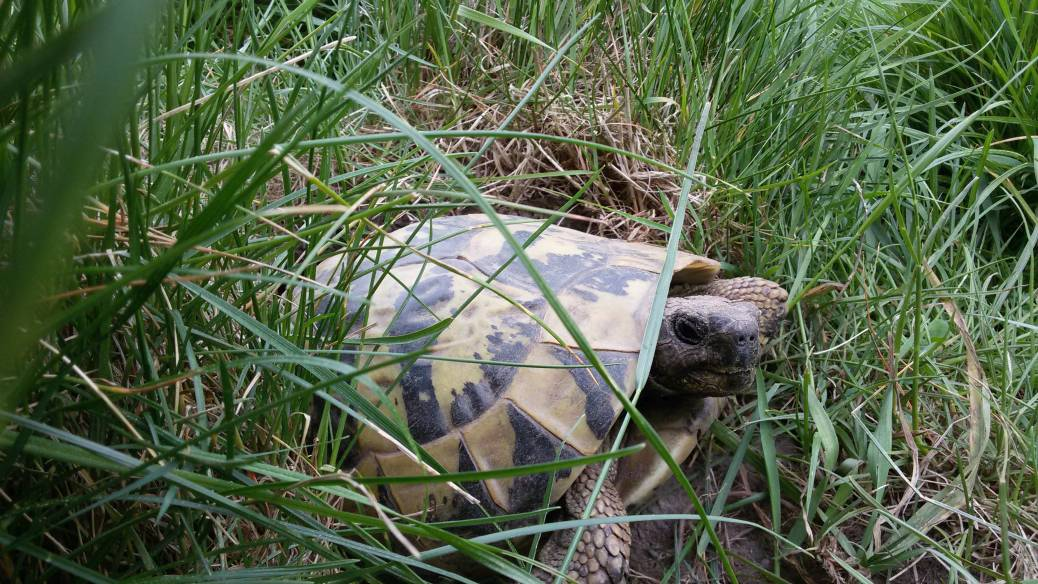 Bilder unserer adulten Griechischen Landschildkröten