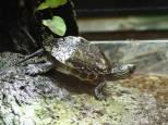 Chinesische Streifenschildkröte Ocadia sinensis