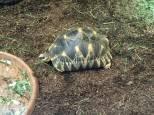 Strahlenschildkröte Astrochelys radiata