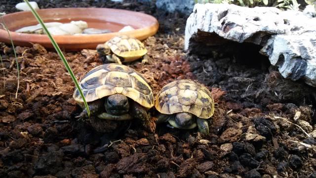Griechische Landschildkröte Jungtier