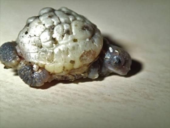 Schildkröte mit Zwilling