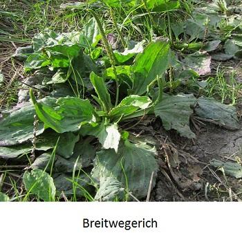 Breitwegerich
