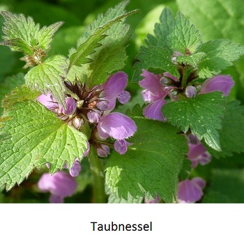 Taubnessel