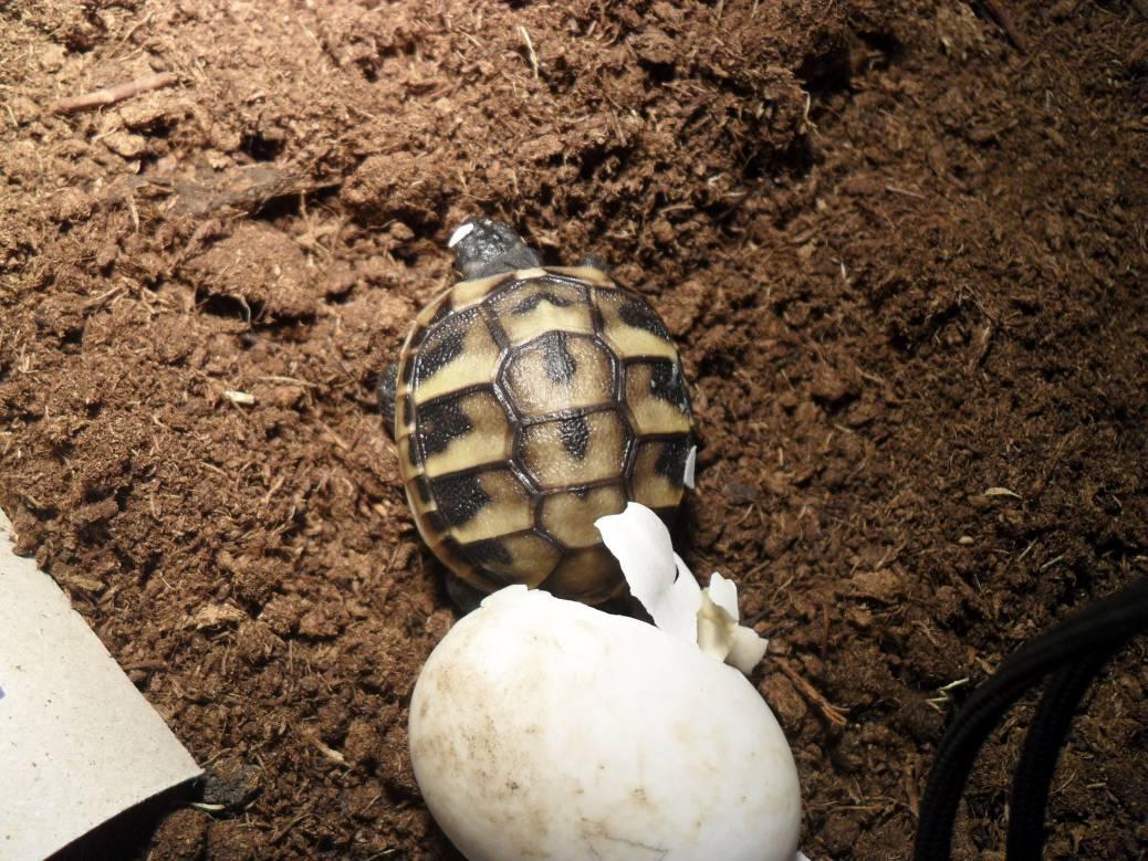 Baby Schildkröten nach dem Schlupf richtig versorgen