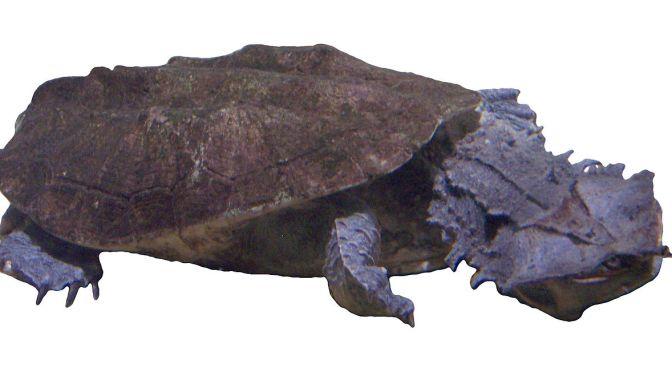 Neue Unterart der Fransenschildkröte entdeckt