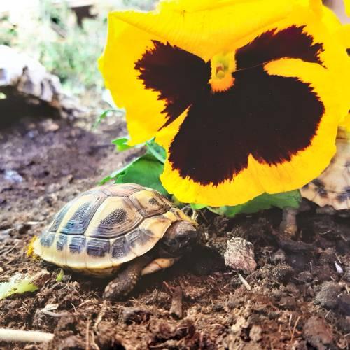 Griechische Landschildkröte vor Stiefmütterchen