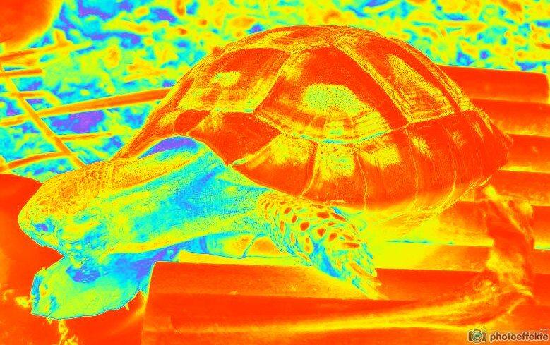 Die bevorzugte Körpertemperatur der Griechischen Landschildkröte und ihre Fähigkeit diese zu regulieren