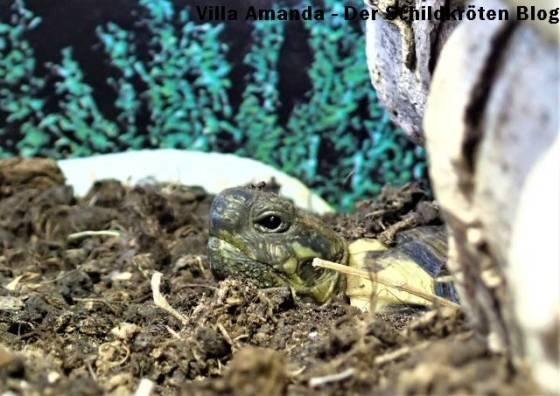 Schildkröte streckt den Kopf aus dem Boden