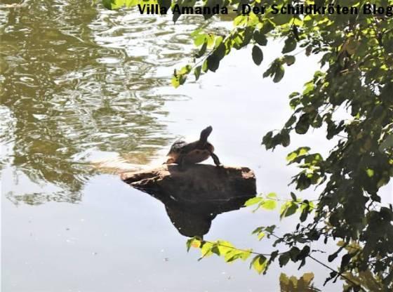 Schmuckschildkröte in der Bonner Rheinaue
