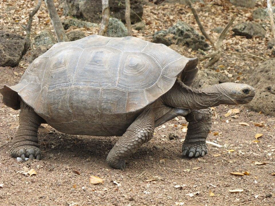 Was uns ausgestorbene Schildkröten von den Bahamas über Galapagos-Riesenschildkröten erzählen