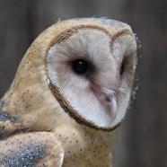 Athena, female Barn Owl at Schlitz Audubon