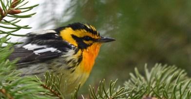 Spring Migration Blackburnian Warbler
