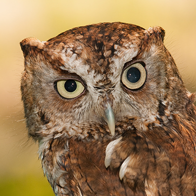 Tucker, Eastern Screech Owl at Schlitz Audubon